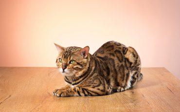 Asma felina: diagnóstico, tratamiento y consejos para cuidar la salud de tu gato